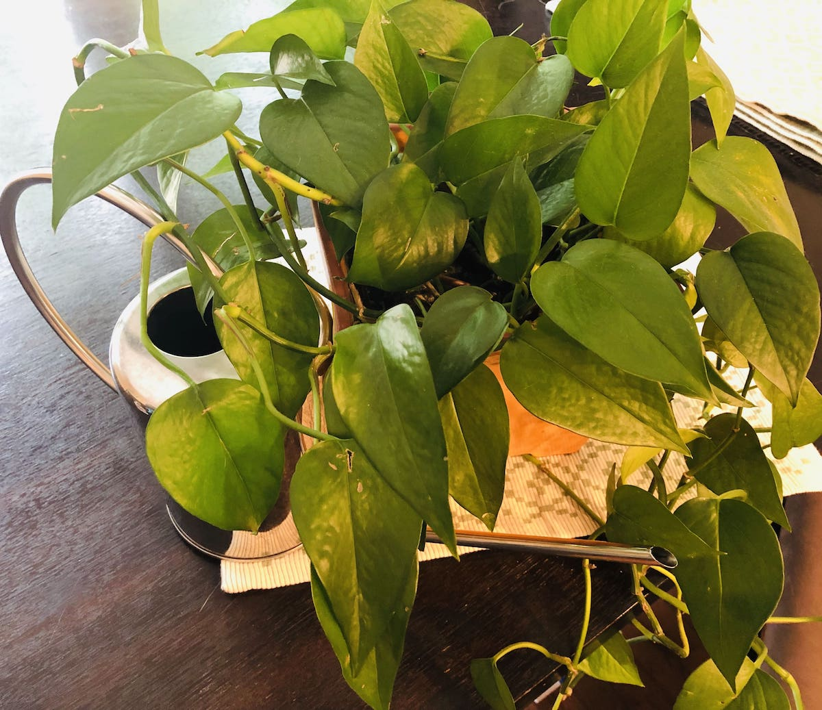 Pothos plant in orange pot.