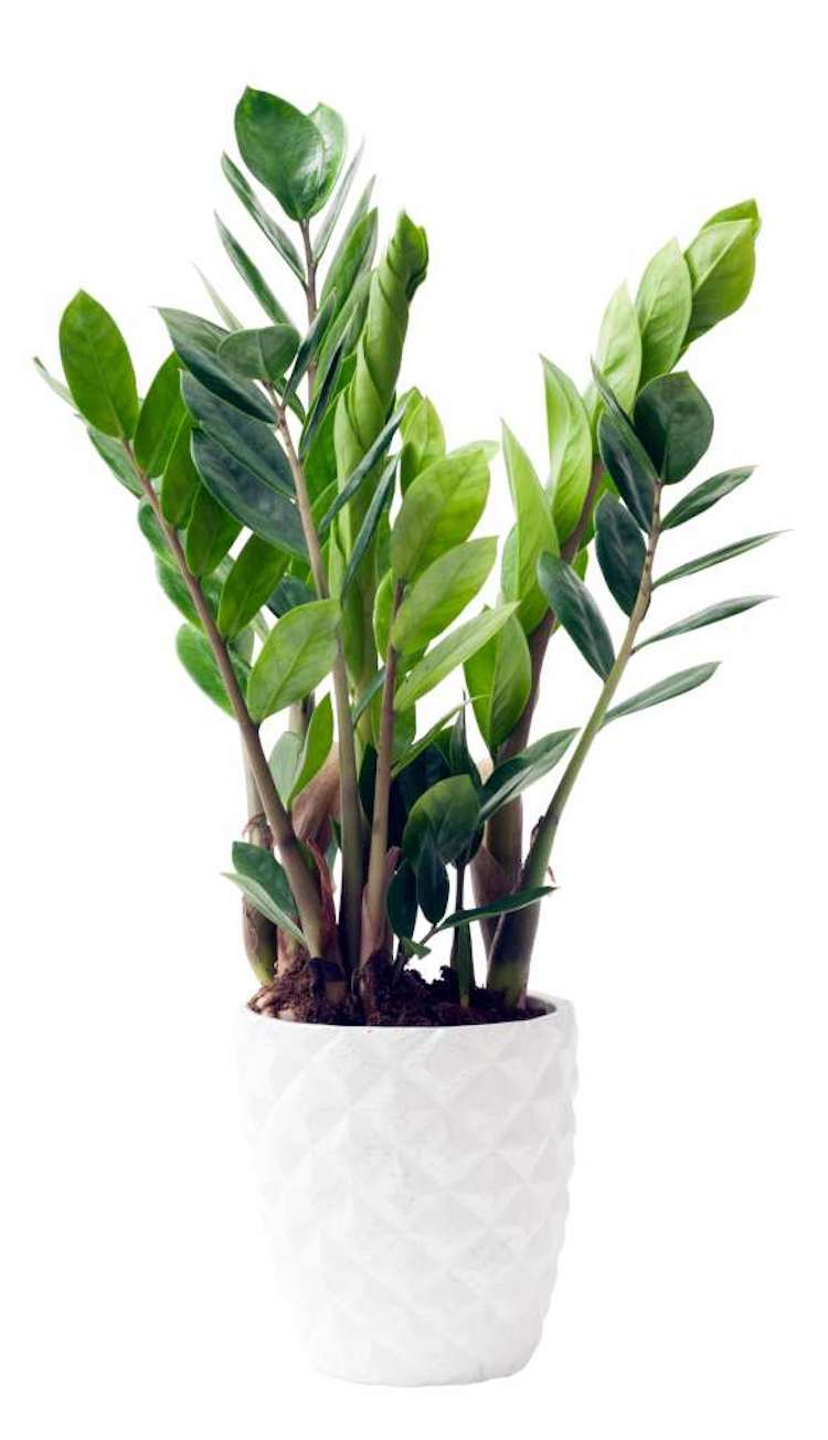 Healthy ZZ Plant in a white pot.