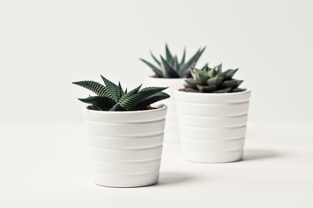 Small set of succulent plants in white pots.