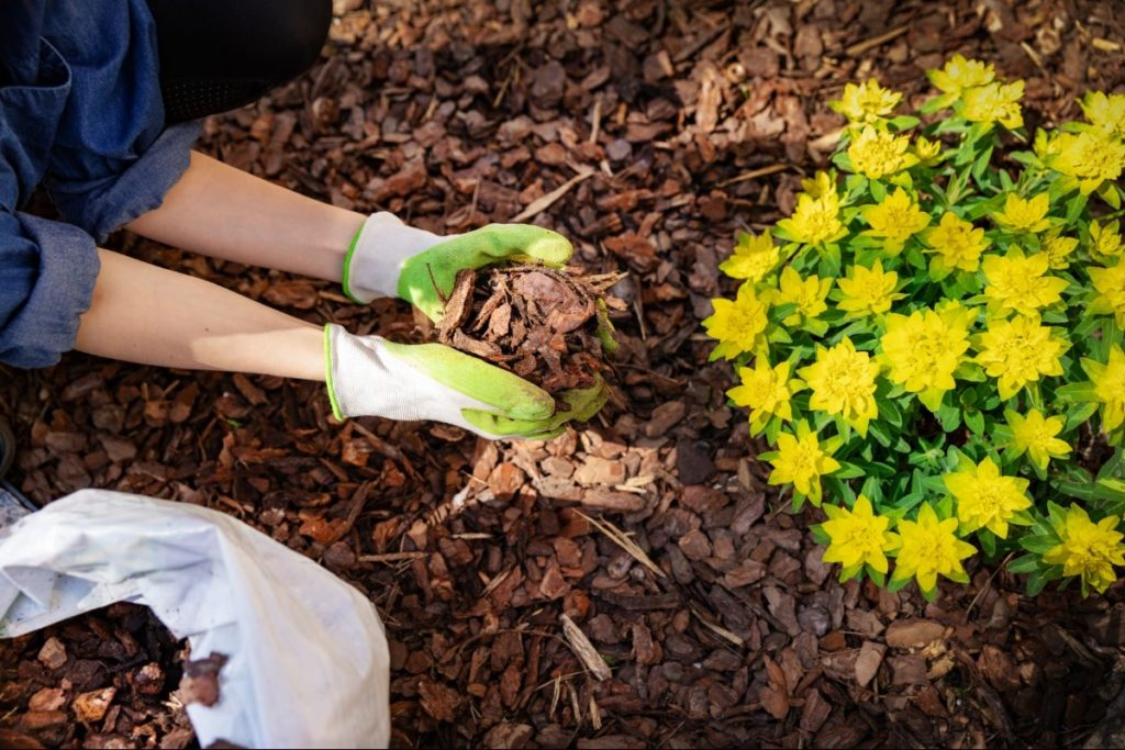 A person with gardening gloves on is putting wood chip mulch around a yellow and green plant.