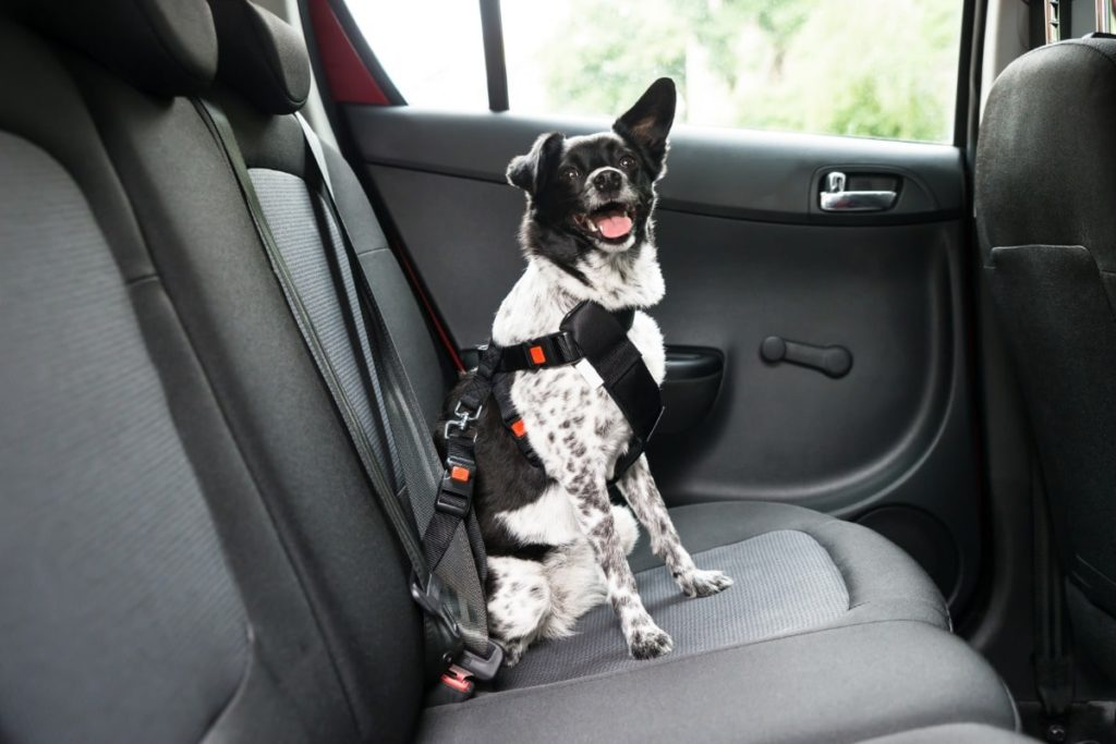 A great way to implement dog car safety is having your dog in the back seat using a harness seat belt that snaps into the car seatbelt.