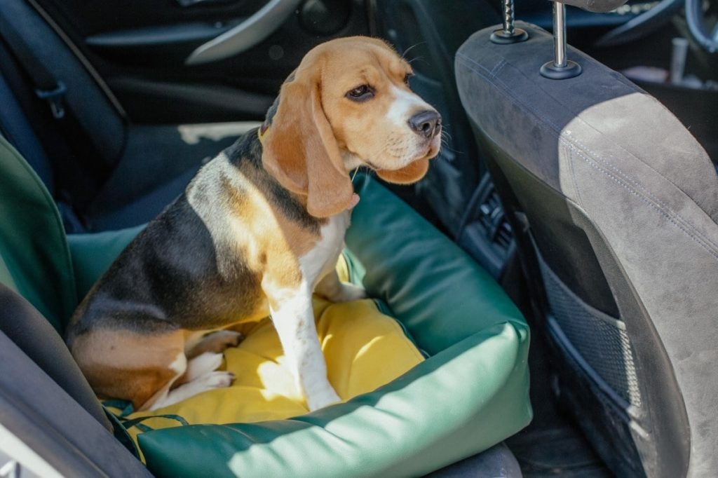 A great way to follow dog car safety is by having your dog sit in the back seat of a vehicle.