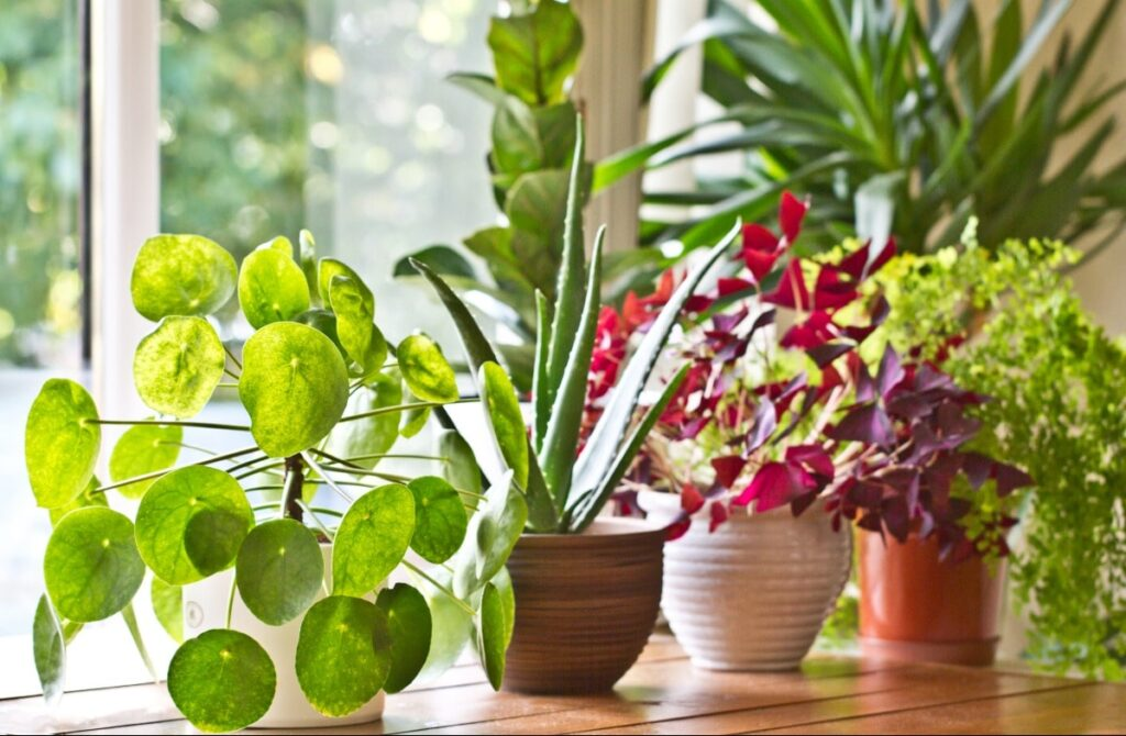 Close up view of green plants, succulents and purple plants located in front of a window. Plants are an easy way to implement biophilic design.