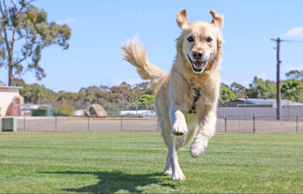 A golden retriever outside running without a leash.